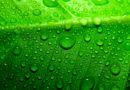 Zielona herbata dobra w profilaktyce raka!