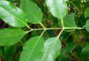 Zapach drzewa sandałowego może wpływać na nowotwory pęcherza moczowego?