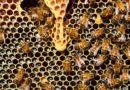 Kit pszczeli może pomóc zwalczyć łysienie?