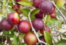 Niezwykły owoc z Amazonii pomoże w walce z otyłością?