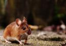 Chińscy naukowcy stworzyli genetycznie zmodyfikowane myszy do testowania szczepionki na koronawirusa